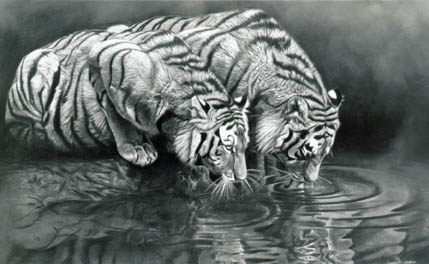 Young Tigers Drinking